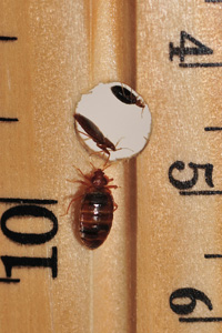 Two bed bugs hide in the hole of a ruler. A third looks on from the edge.