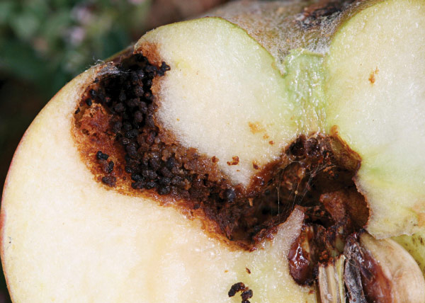 Damage to apple by tunneling codling moth larva