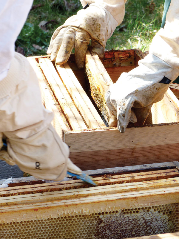 Gloved hands working on a beehive