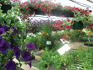Guardian plants among colorful petunias in a greenhouse.