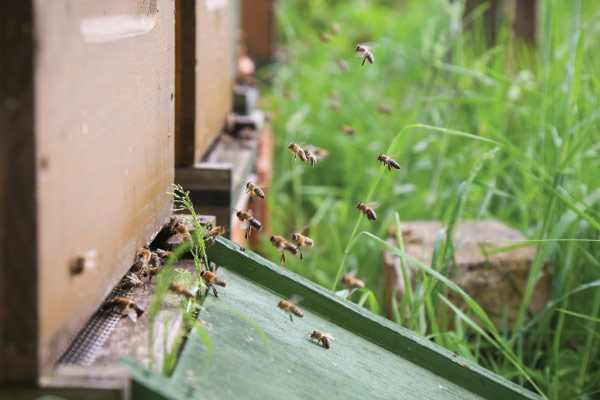 Honey bees entering hive