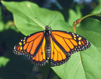 Monarch butterfly resting on a leaf