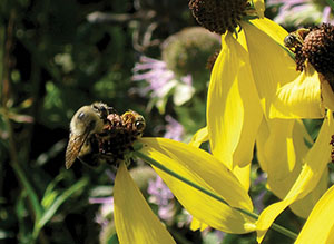 Two bees share a flower of Ratibida pinnata, yellow coneflower. Source: C. Neal, UNH Cooperative Extension