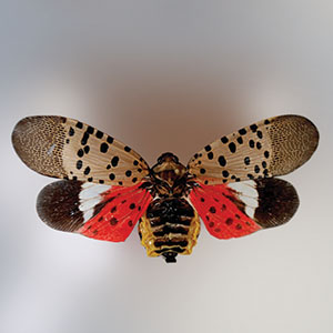 Spotted lanternfly has many striking colors.