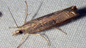 The cambrid moth larva is known as sod webworm