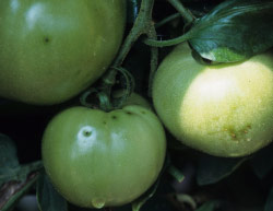 Bacterial canker and wilt of tomato