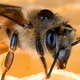 Tool to Assess Bee Health Goes Viral
