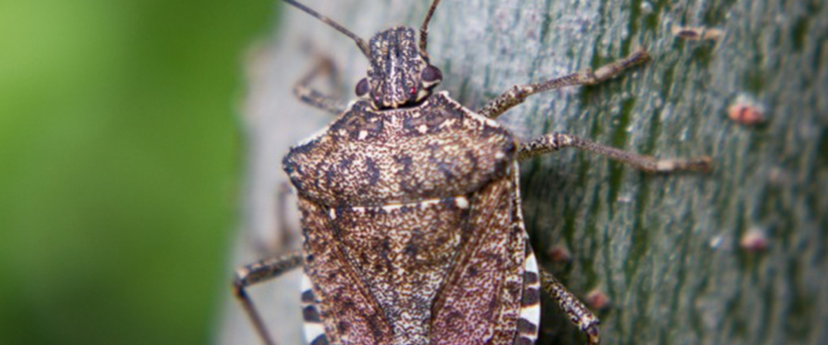 Identifying an Invasive: The Case of the Stink Bug