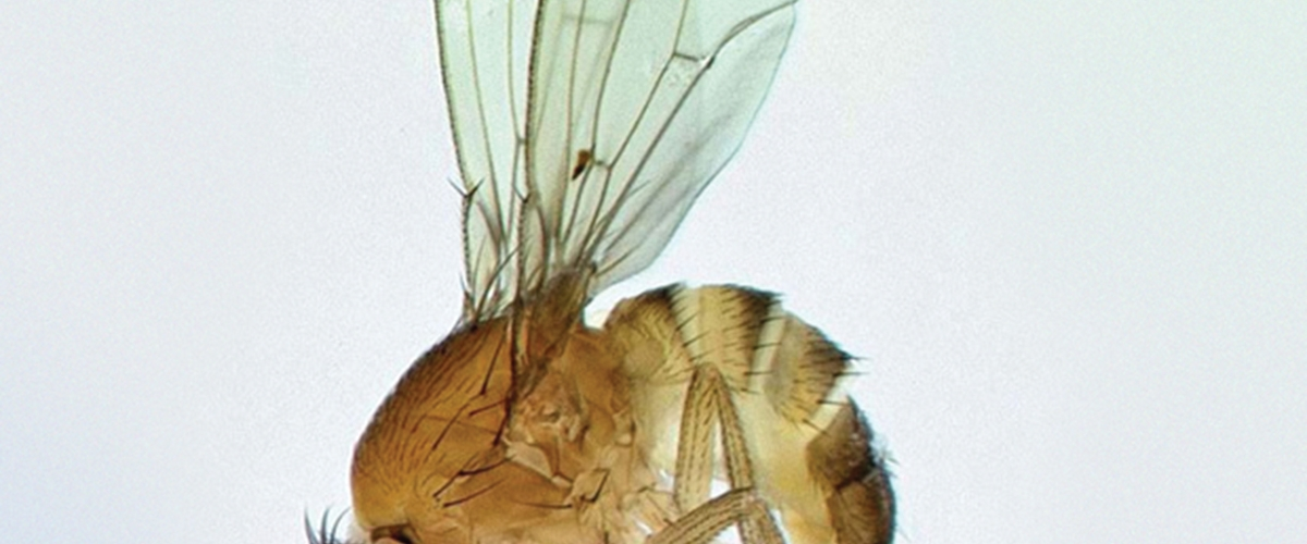 Invasive Update: Spotted Wing Drosophila