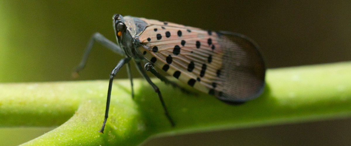 Spotted Lanternfly, an Invasive Pest Threatening Grapes and Other Crops, Found in Ithaca, NY