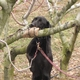 Opal checks high spots in the orchard for BMSB
