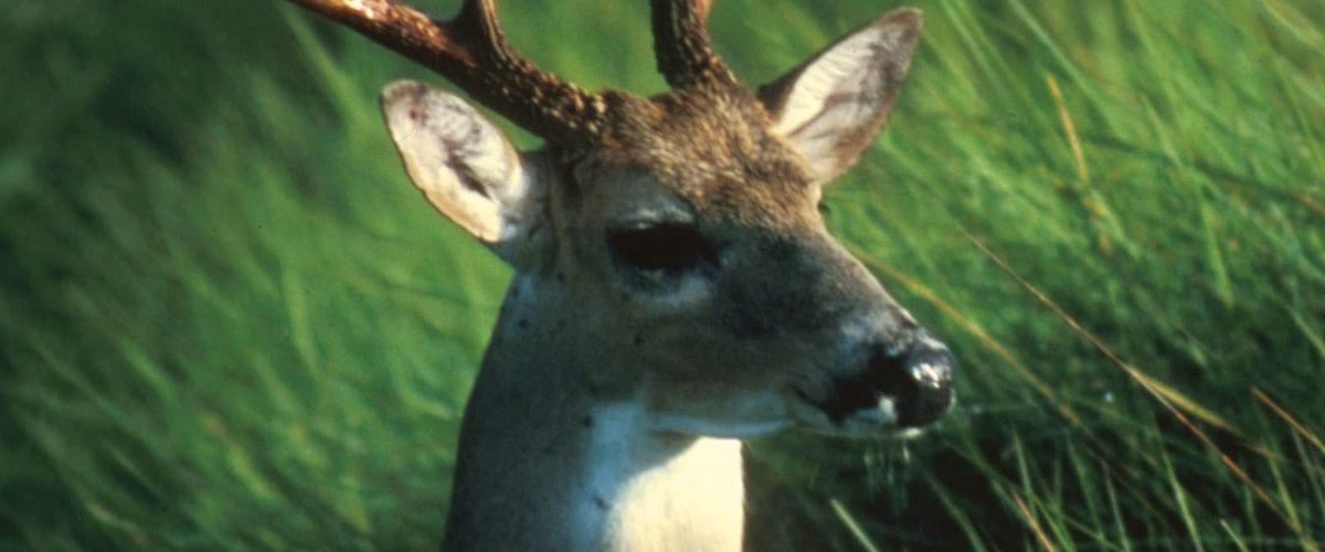 Preventing Deer from Becoming Pests