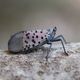Spotted Lanternfly Basics: Webinar Announcement