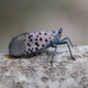 Upcoming Spotted Lanternfly Webinars