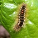 Browntail Moth Looms Again in Northeast